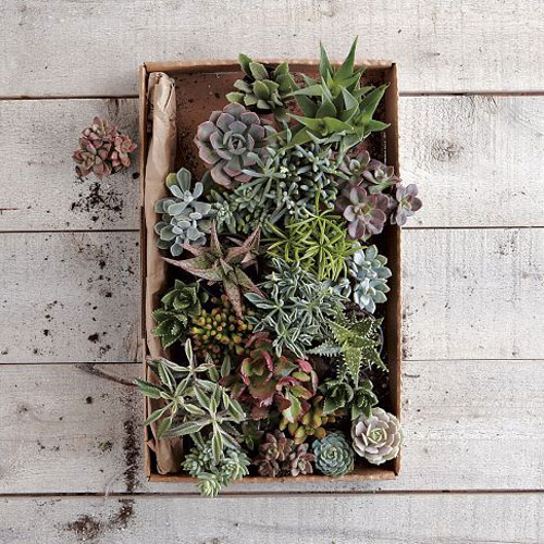 West Elm Succulents