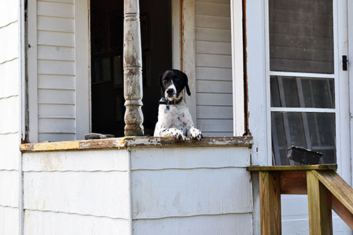 Goose Supervising Porch Repairs